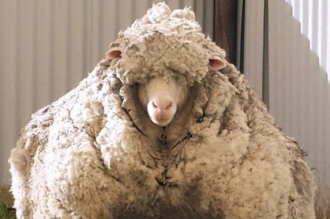 Woolly-sheep-in-Canberra