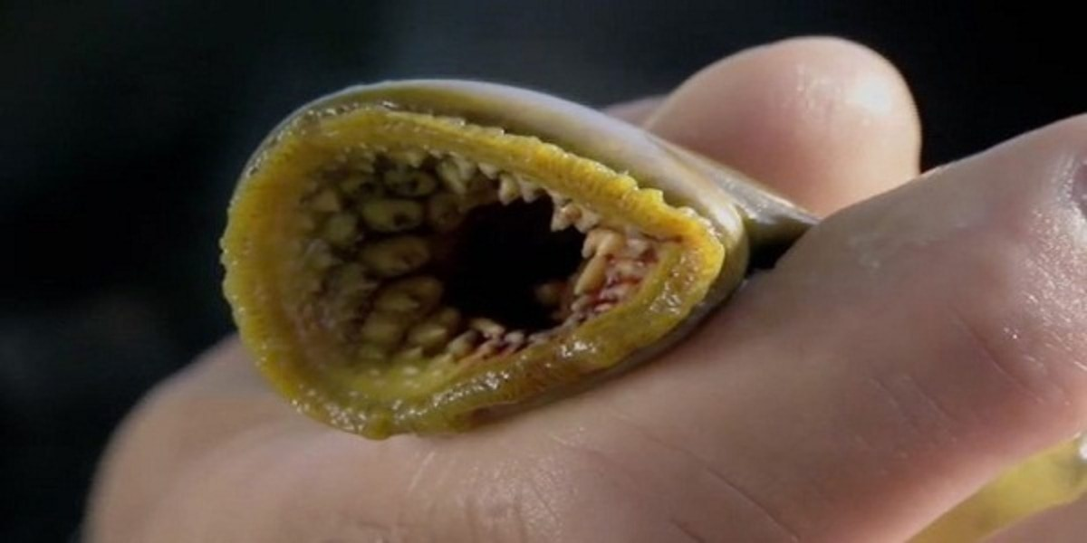 PAY-The-number-of-lampreys