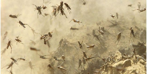 Locusts hop across the hillsides of Dar-e Kalan District, northern Afghanistan, April 19, 2002, and will have fully grown wings and start flying in about a week.  The region, recovering from three years of drought,  is bracing for its worst plague of locusts in nearly 30 years. (AP Photo/Alexander Zemlianichenko) ** zu unserem KORR. **