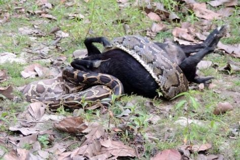 Indian-Rock-Python-swallowing-a-goat