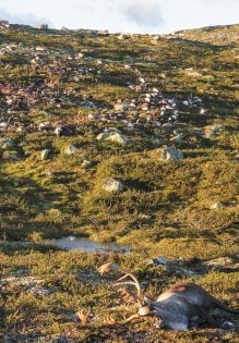 "Some 323 dead wild reindeer struck by lightning are seen littering a hill side on Hardangervidda mountain plateau in central Norway on Saturday August 27, 2016. The unusually high death toll was put down to the lightning strike and the fact that reindeer often stand close to each other. The Hardangervidda plateau, a large portion of which forms a national park, is a popular destination for outdoor activities and is home to an estimated 10,000 wild reindeer according the Norwegian Wild Reindeer Centre. / AFP PHOTO / Norwegian Environment Agency / Haavard Kjontvedt / RESTRICTED TO EDITORIAL USE - MANDATORY CREDIT ""AFP PHOTO / Norwegian Environment Agency / Haavard Kjontvedt"" - NO MARKETING - NO ADVERTISING CAMPAIGNS - DISTRIBUTED AS A SERVICE TO CLIENTS"